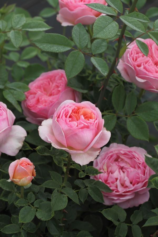 Austin Rose Rosa Boscobel® Duft+++ Englische Rose Boscobel® lachsrosa