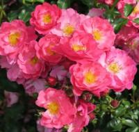 Stammrose Alissar Princess of Phoenicia® Rosa Alissar Princess of Phoenicia®